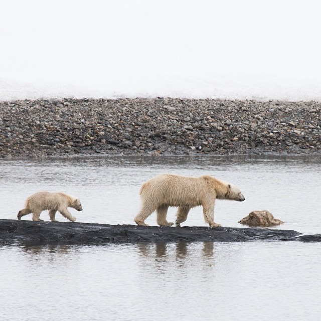"This past summer I had the wonderful opportunity to observe and photograph polar bears in the Arctic for my first time. The mother and cub pictured here was actually my first polar bear sighting, and I remember this moment quite vividly and will probably never forget it. Seeing polar bears in the wild transformed me, and made me truly realize how fragile our environment is.   I want to share some text that was posted on the @natgeo Instagram feed yesterday:   ""Polar bears have come to represent the Arctic ecosystem and we look to them as an indicator of the health of the polar region they roam. Due to human-caused climate change, the Arctic is currently experiencing the warmest air temperatures in four centuries, and sea ice losses in the summer of 2012 broke all previous records. Polar bears are feeling the pressure; their populations are declining in Churchill, Manitoba in direct correlation with the loss of sea ice. The sea ice freezes later each fall and melts earlier each spring which means less time for hunting on sea ice. We must act today to change our carbon-emitting habits. It is estimated that if current climate trends are correct, two-thirds of the polar bear population could disappear by 2050. All the creatures from the top of the food chain to the bottom who are specially adapted to life on ice depend on humans to act now to lessen their carbon emissions that have caused these changes. What daily decisions are you making to reduce your carbon footprint?""   #thisarcticlife #saveourseaice"