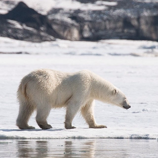 This Arctic Life   One last shot before I go again - my favorite polar bear at Inglefieldbreen. Polar bears have transparent hair, black skin, and black tongues and are the largest terrestrial predator on earth. #thisarcticlife (at Svalbard)