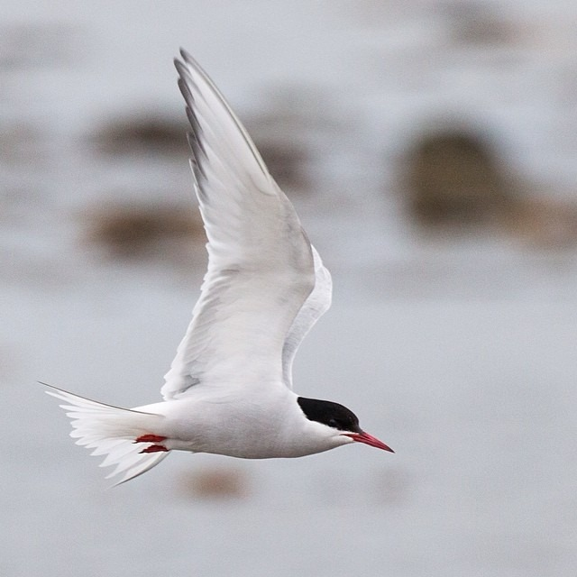 The Arctic tern has the longest migration known in the animal kingdom. They migrate between the Arctic and Antarctic regions and have annual roundtrip lengths of about 44,300 miles. They are also infamous for pecking at humans and polar bears, sometimes drawing blood from both. #thisarcticlife (at Svalbard)