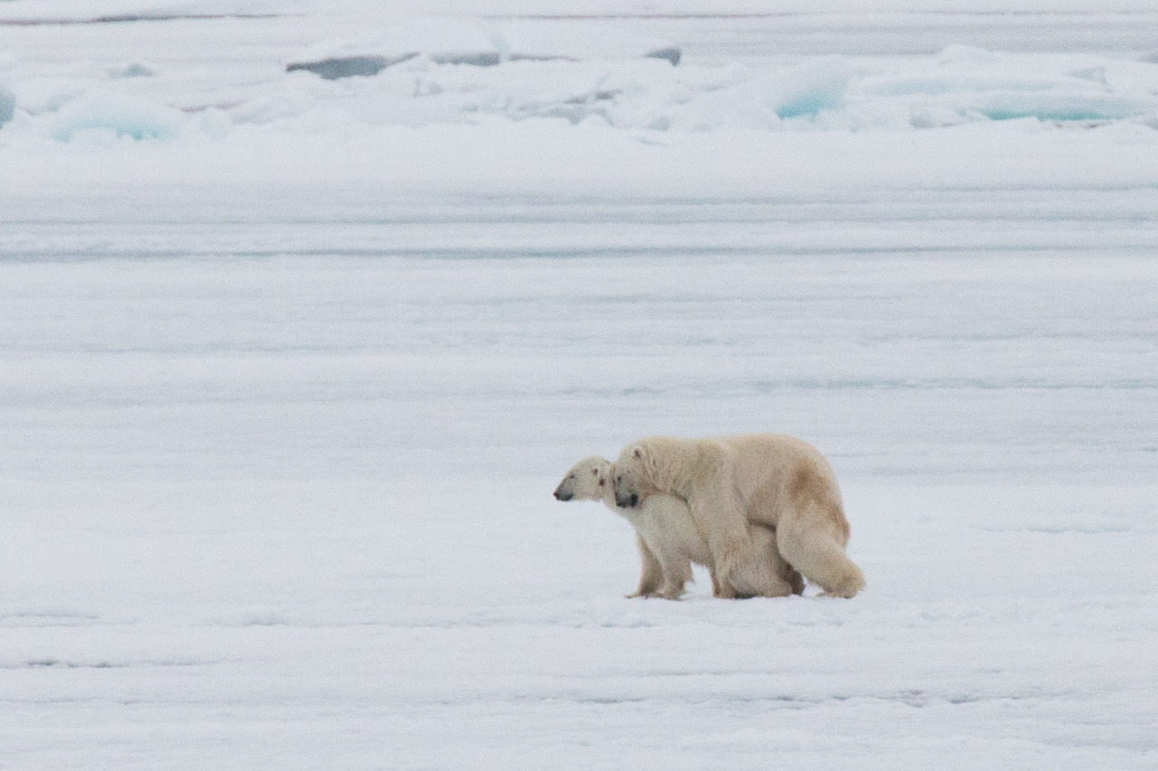 We had a very rare sighting of polar bears mating at 80° 10'3 N, close to the North Pole. Only one of our naturalists (Tom, pictured in one of my previous photos) has ever seen this in the wild #thisarcticlife #polarbears #mating #wildlife (at Svalbard)