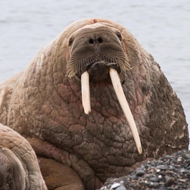 I AM THE WALRUS \ male walruses can weigh up to 3,700 pounds and I'm pretty sure they inspired the Star Wars character, Jabba the Hutt #thisarcticlife #svalbard #arctic #walrus #wildlife #iamthewalrus #starwars #jabbathehut #makeportraits (at Svalbard)