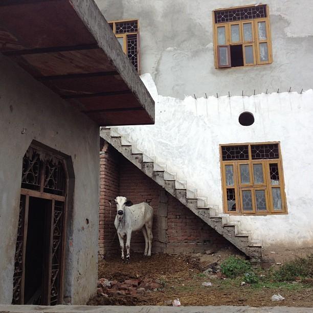 Holy cow (at Delhi, India)