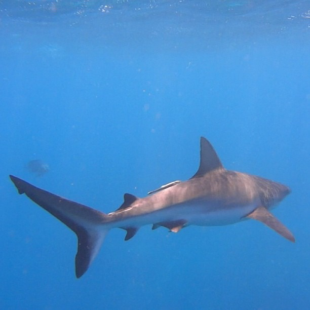 Shark (at Great Barrier Reef)