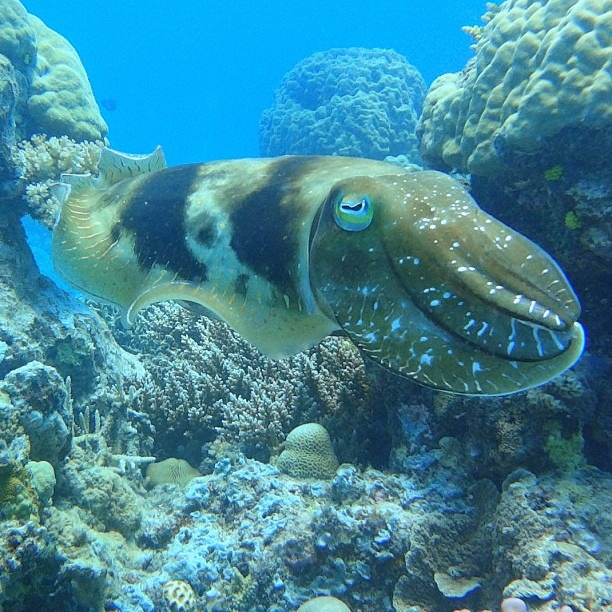 Cuttlefish (at Great Barrier Reef)