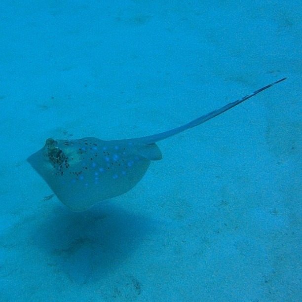 Stingray (at Great Barrier Reef)