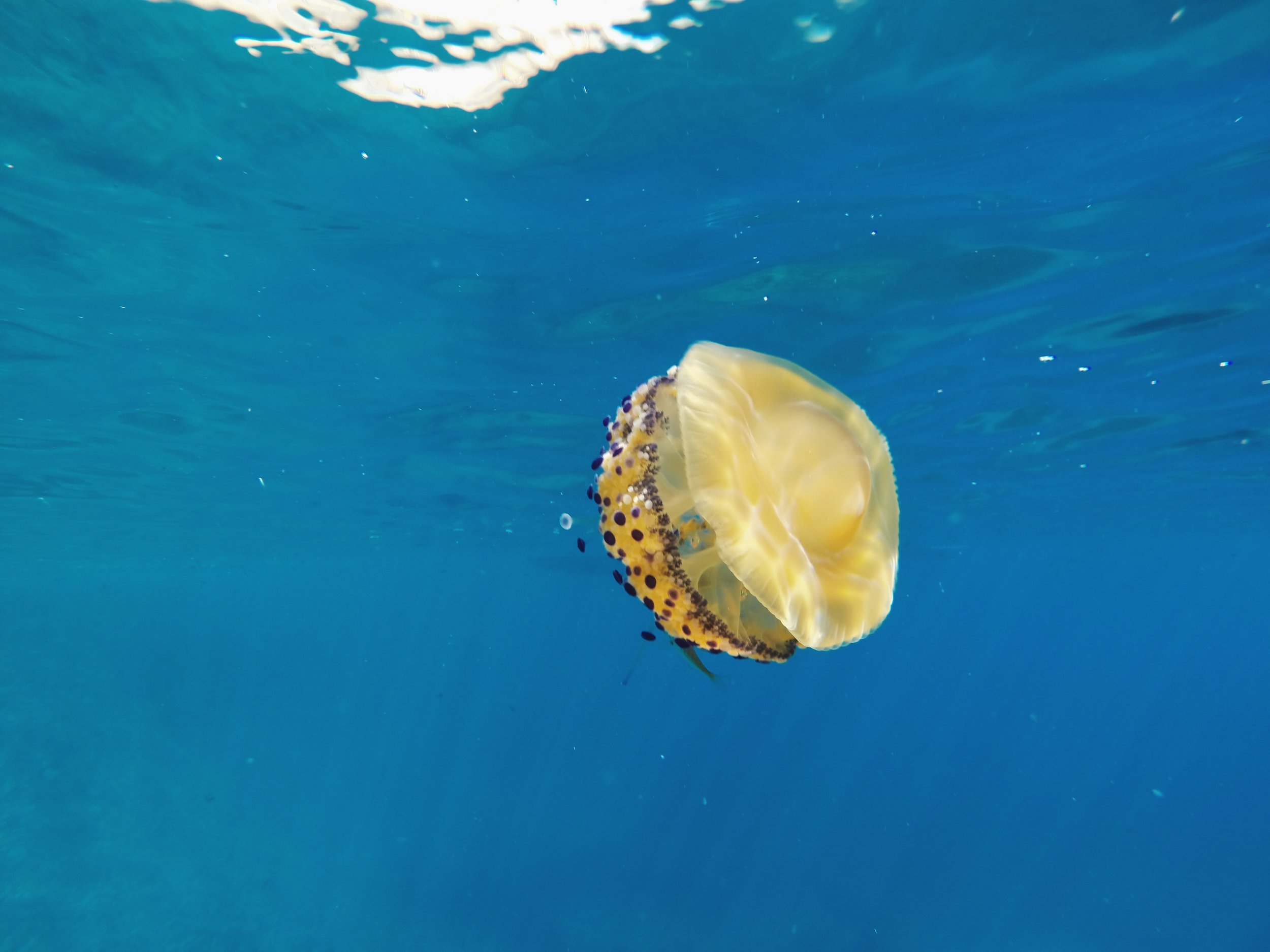 A fried egg jellyfish at Grotta del Soffio. The water was so clear!