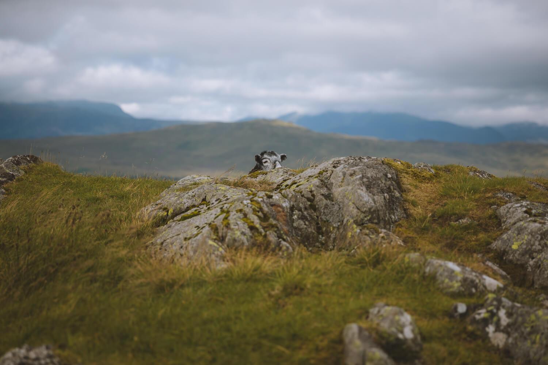 mouton cache dans les rochers