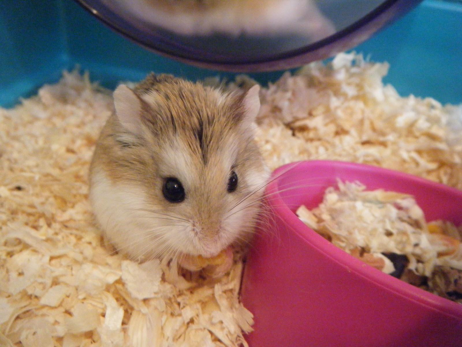 Cute Roborovski Hamster Wallpaper.jpg