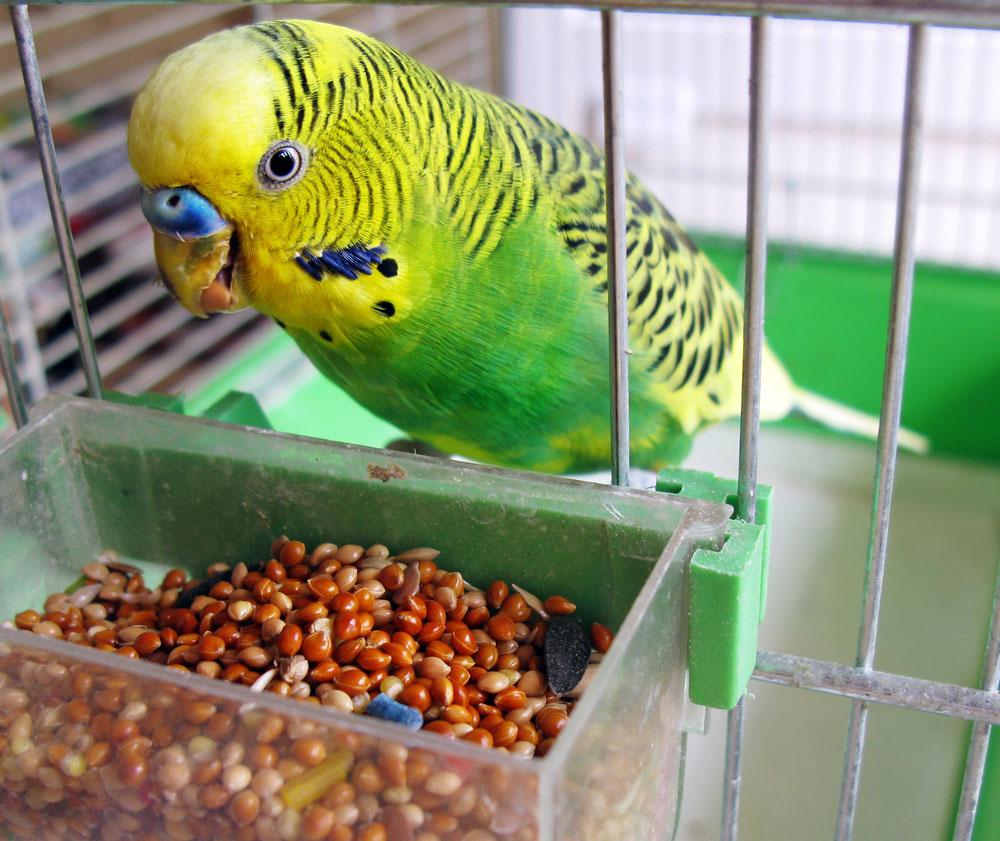 Parrot-Eating-Grain.jpg