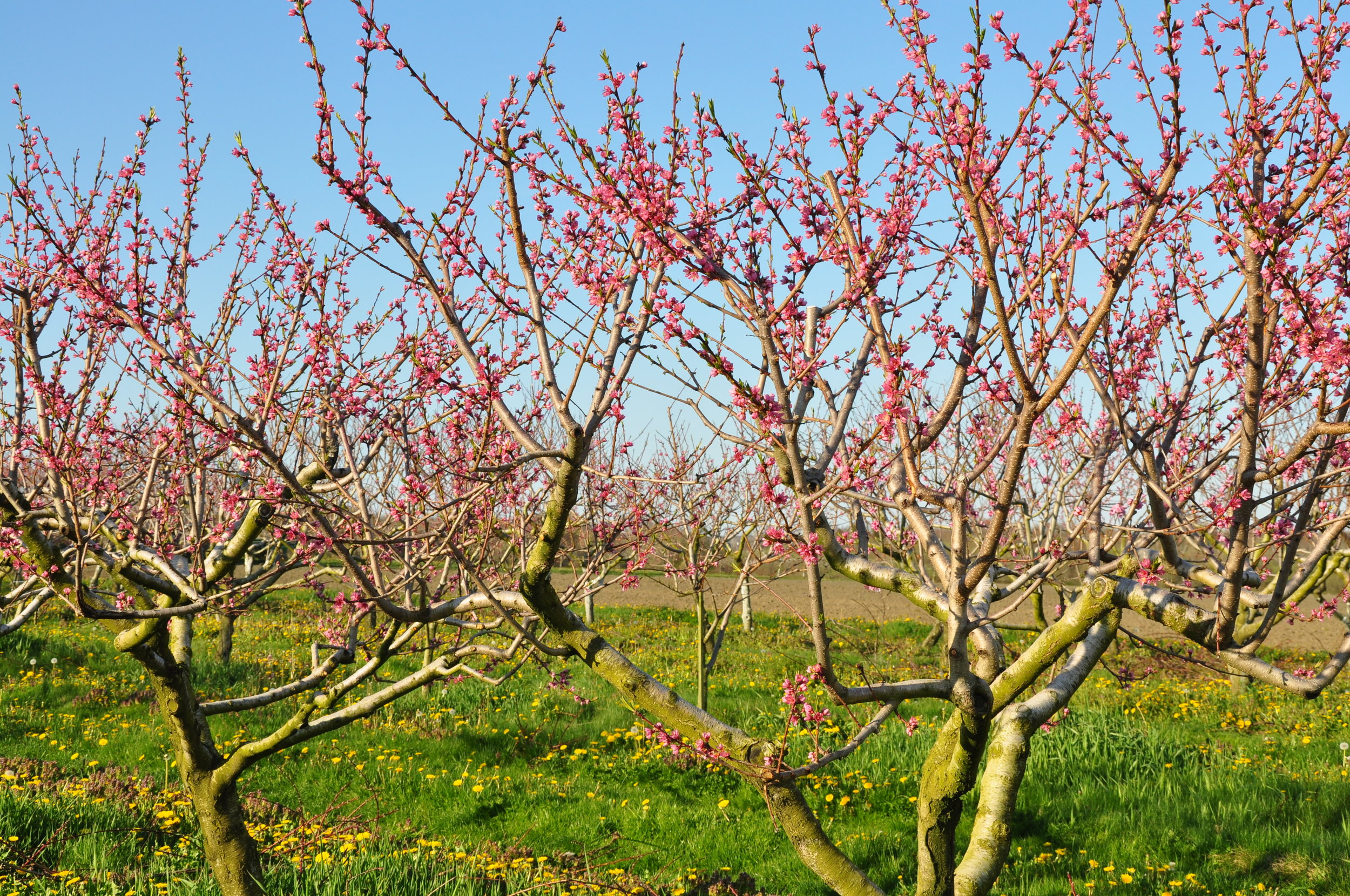 A view from Young Family Farm's blossoming peach trees.
