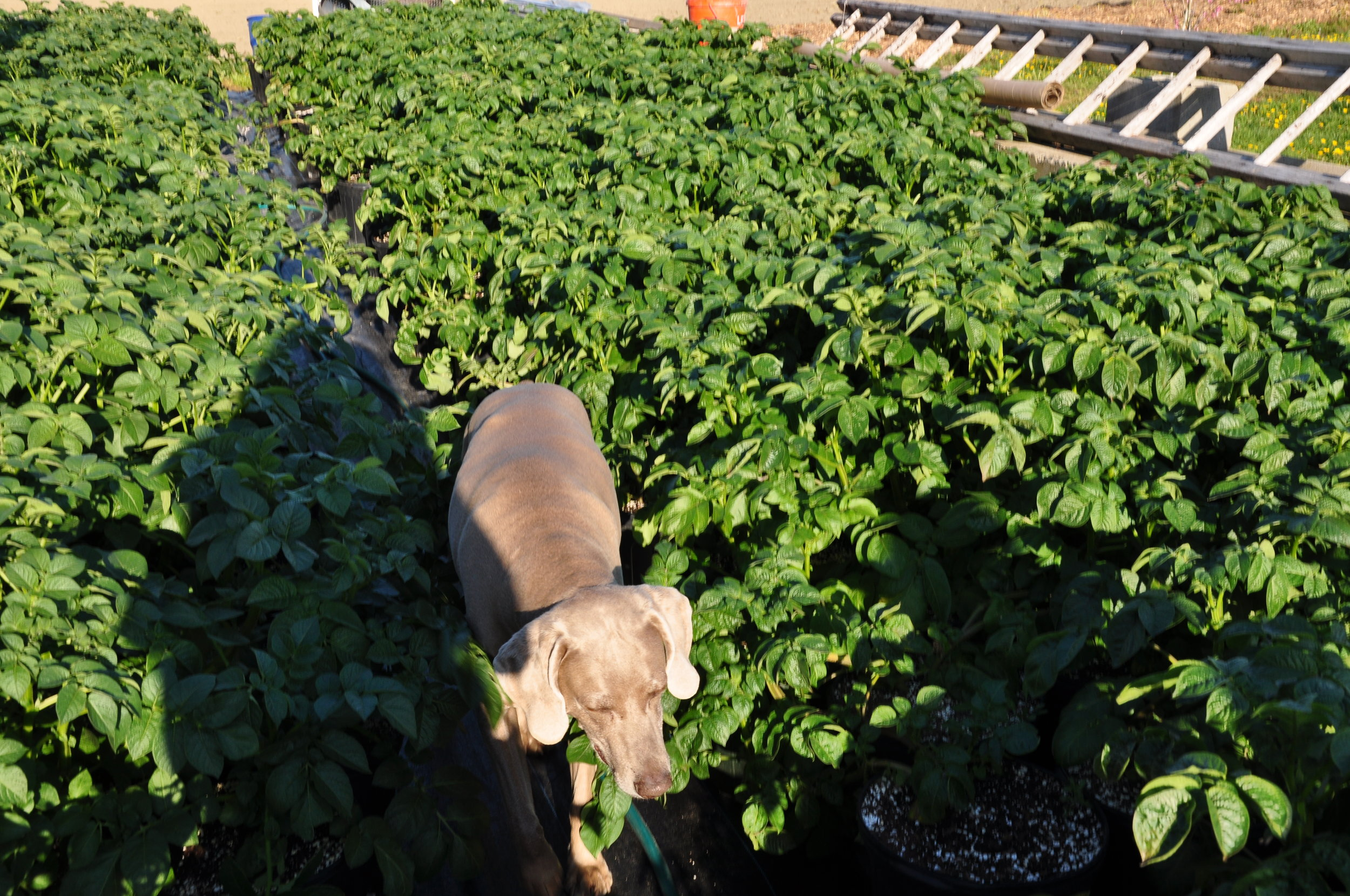 Young Family Farm dog Bella, a welcoming Weimaraner, strolls near some pepper plantings.