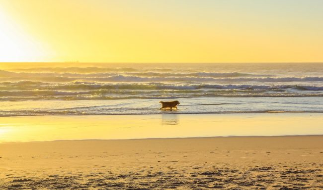 bigs-Golden-Retriever-walking-at-Huntington-Dog-Beach-at-sunset-E1-Large-650x384.jpg