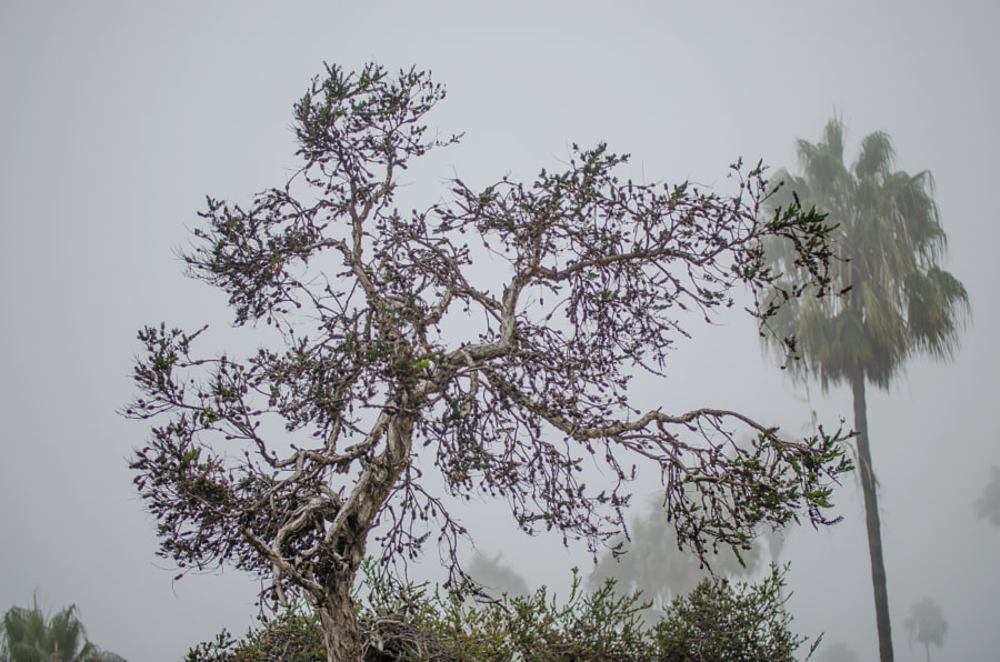 Tree in Fall dress at Laguna Beach