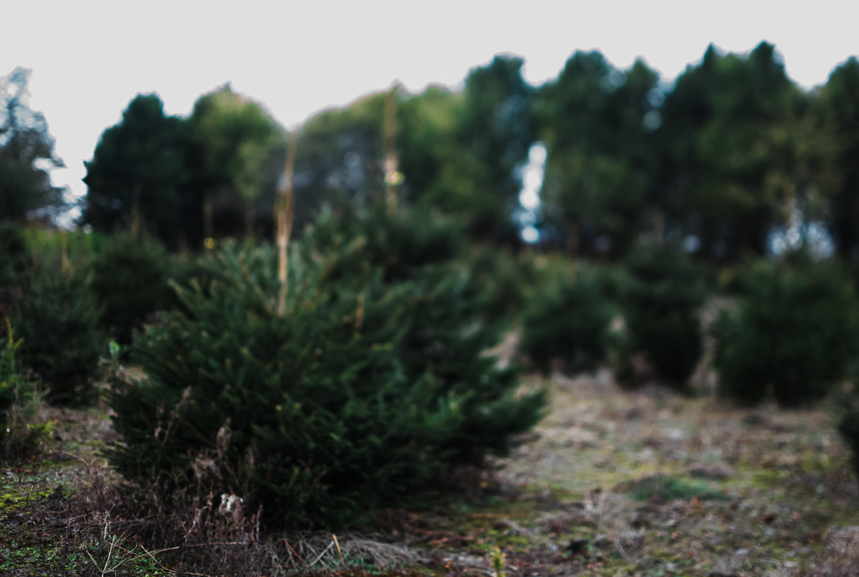 Christmas tree farm - Bottisham, Cambridge