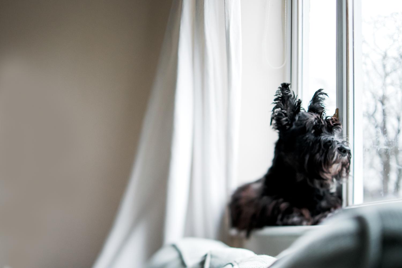 scottie window watching