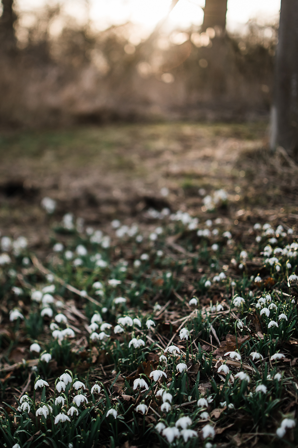 Snowdrop carpet