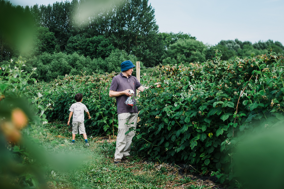 A father and son picking raspberries at a PYO farm