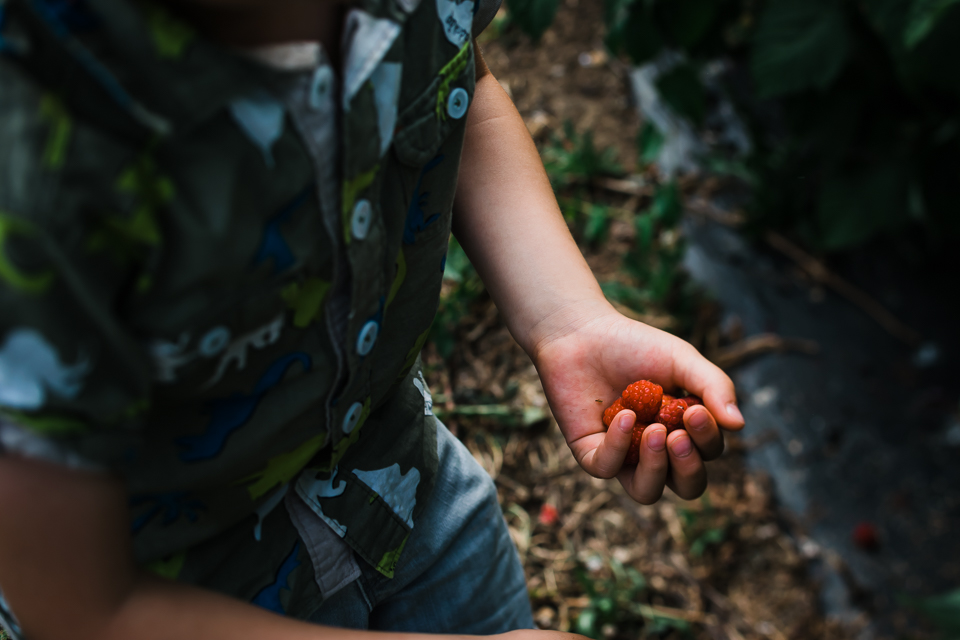 Child holding red  raspberries he collected in his hand