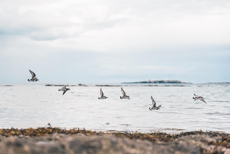 Ringed plover on Bamburgh beach
