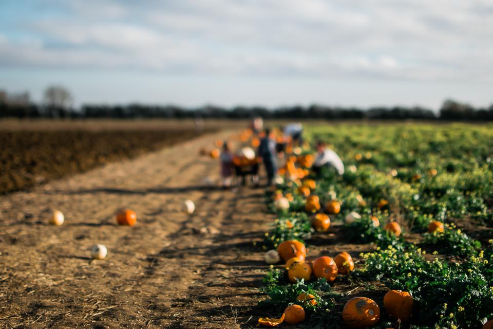 pumpkins lined up by the pumpkin field