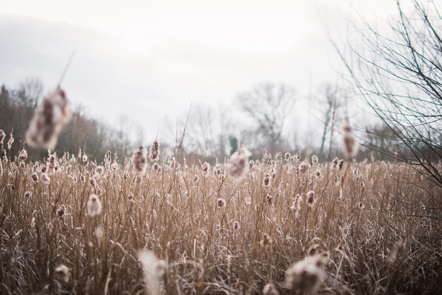 Reedbeds by Cambridgeshire photographer, Diana Hagues Photograph