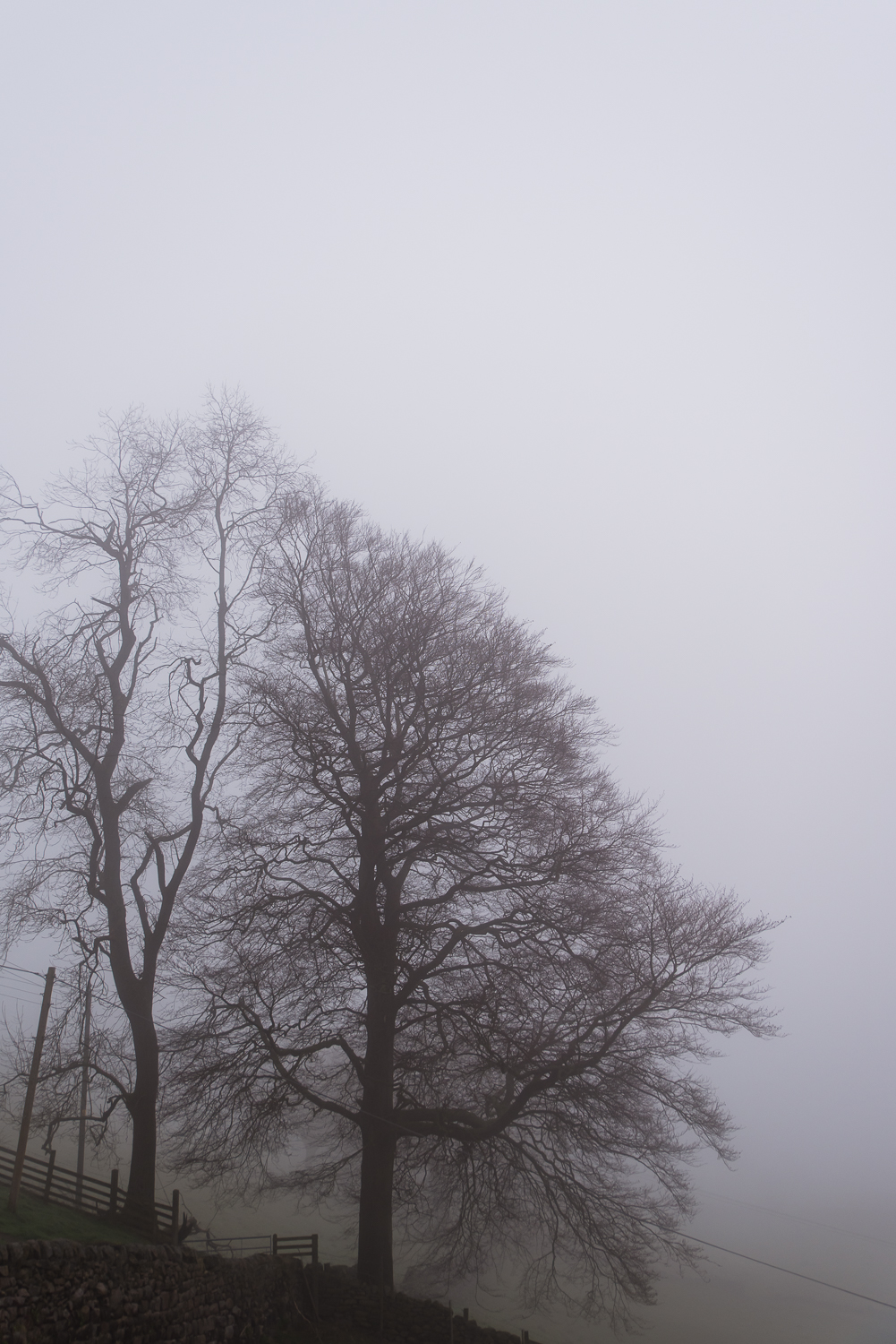 Almost silhouette-looking trees in the fog