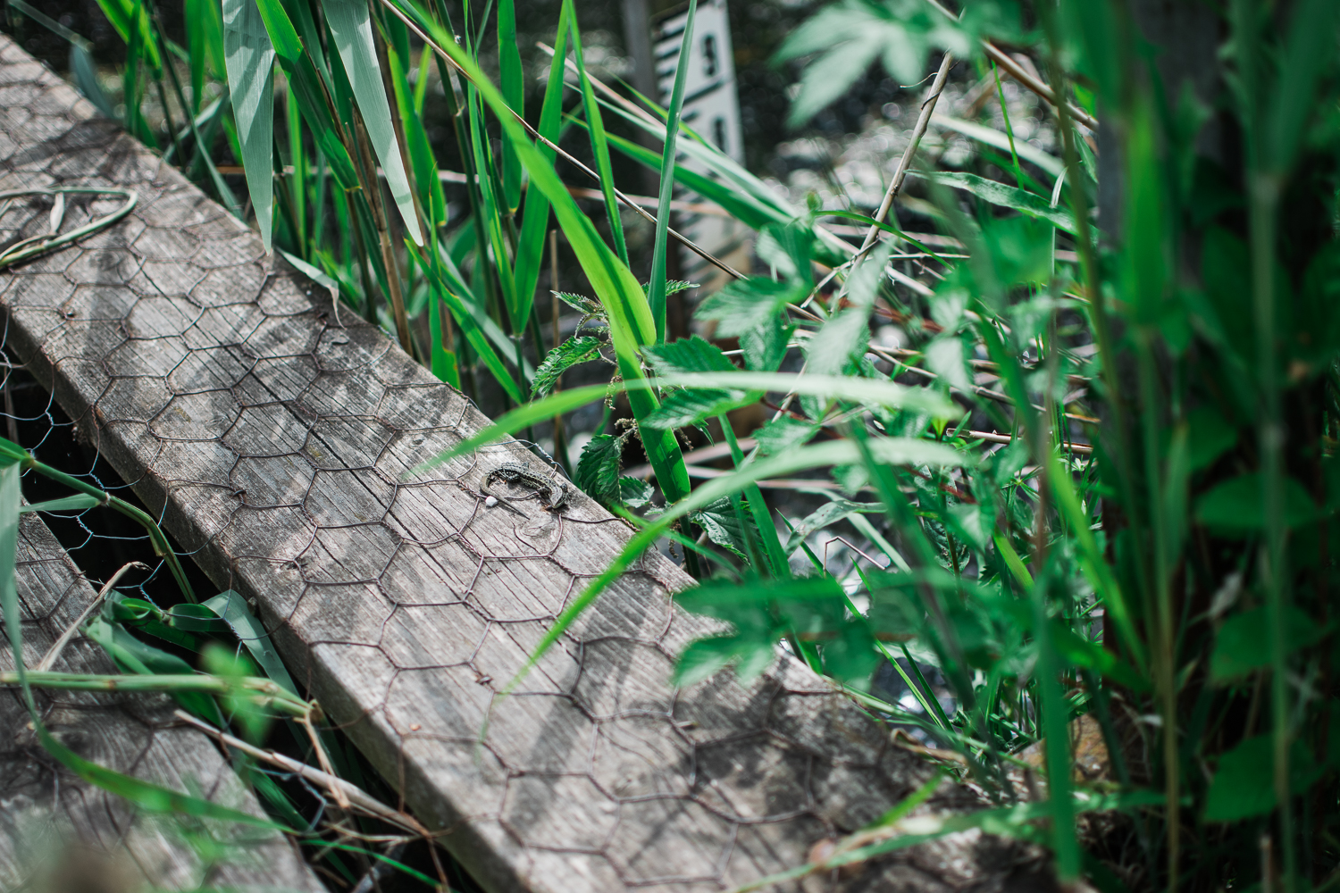 Photograph of a Common lizard taken by a child at Woodwalton Fen