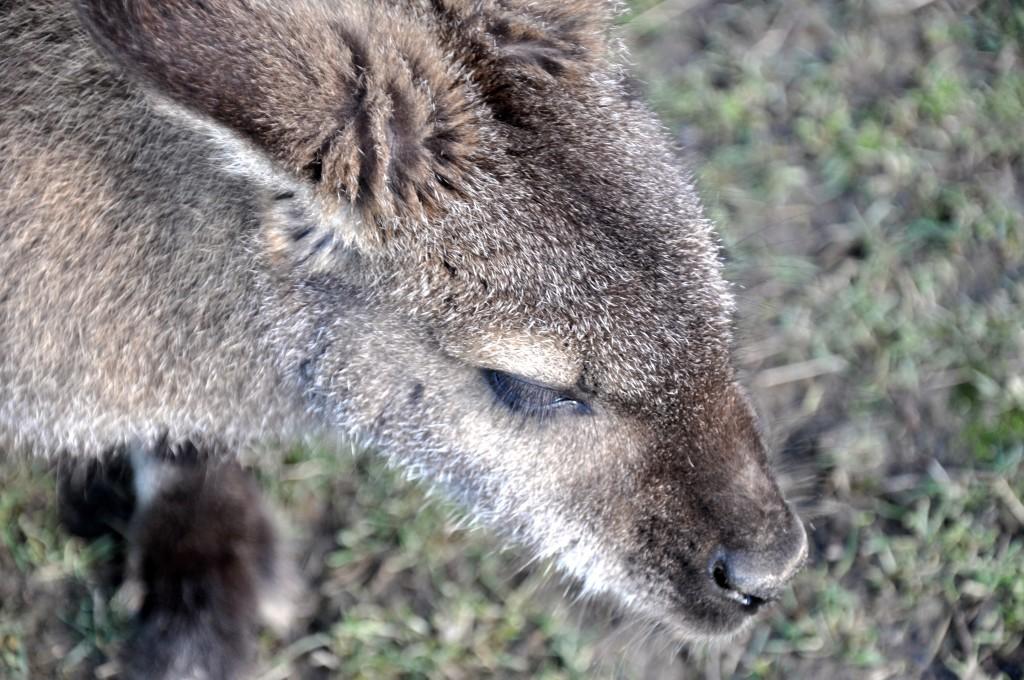 Wallaby, Hanmer Springs Animal Farm