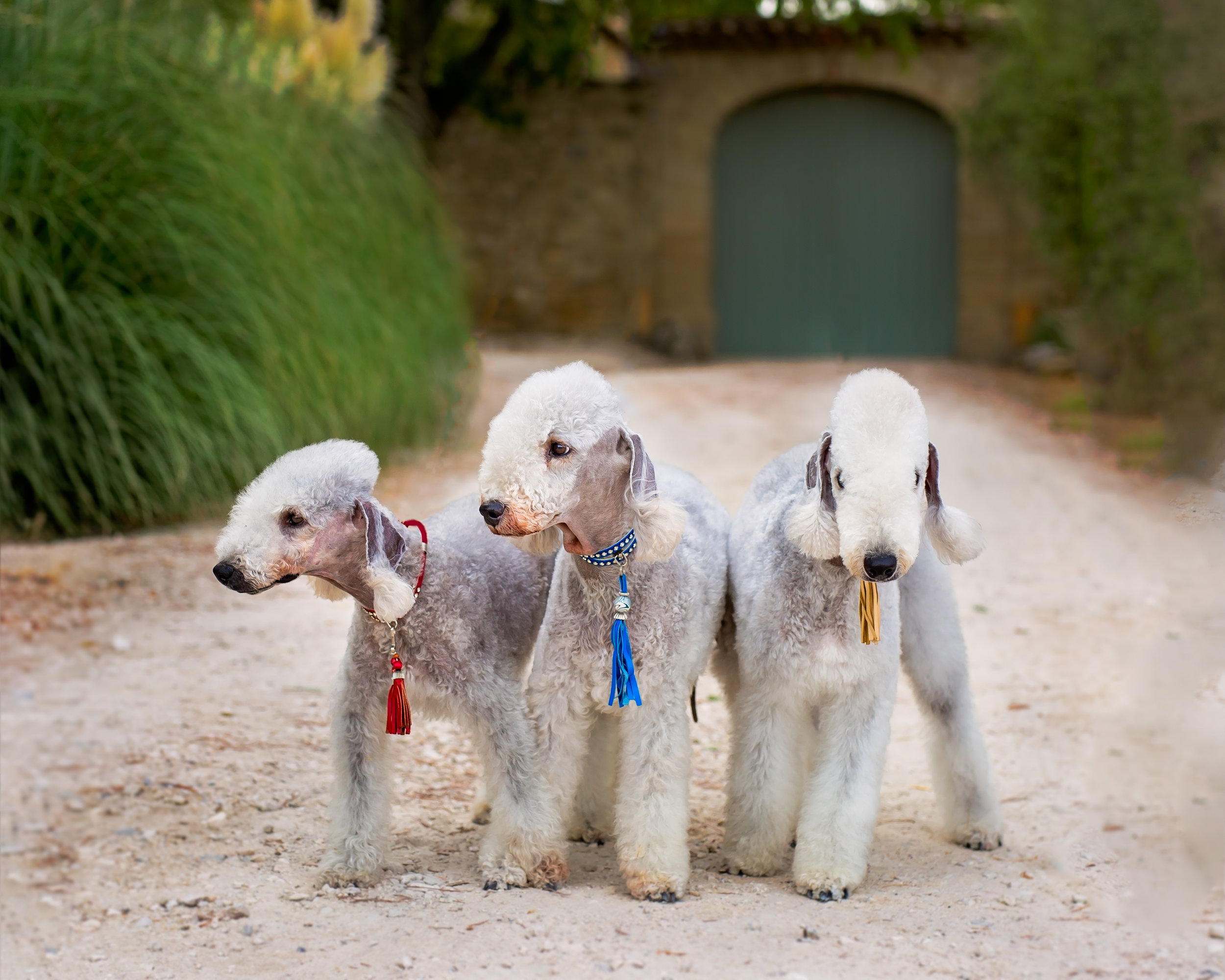 How cool are these Bedlington Terriers!