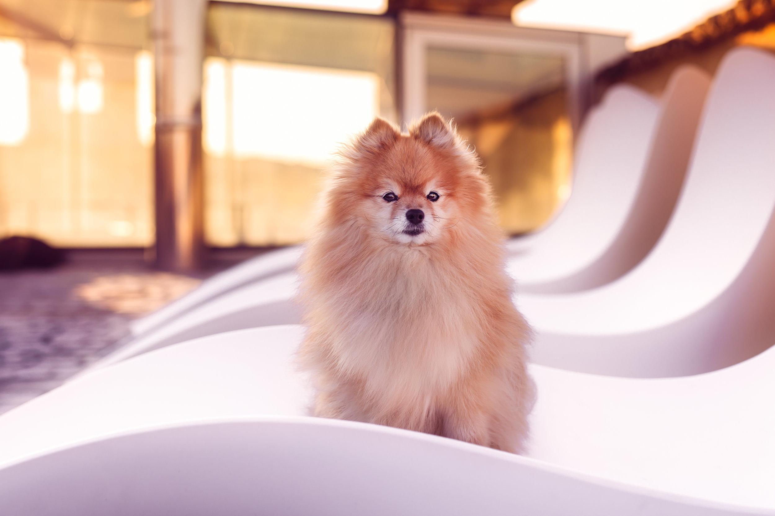 Pomeranian- roof top- sunrise-dog portrait