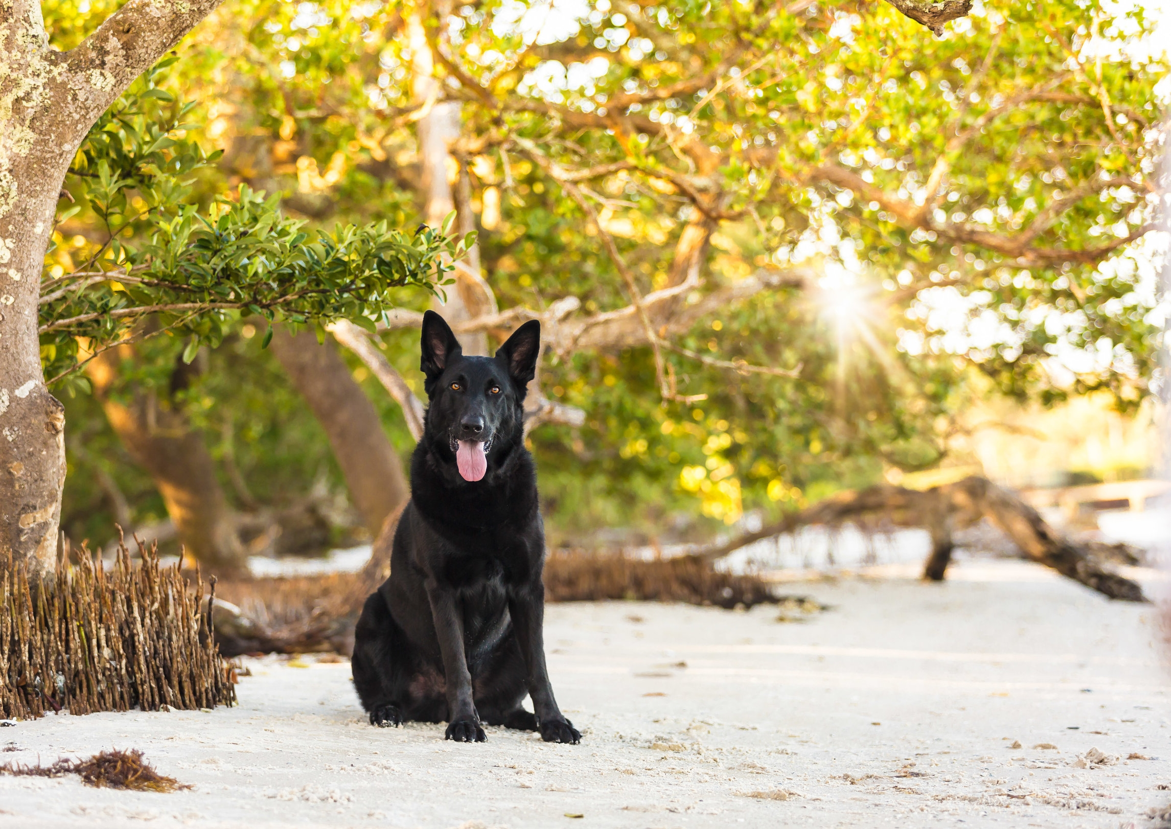 Black dog- beach-happy