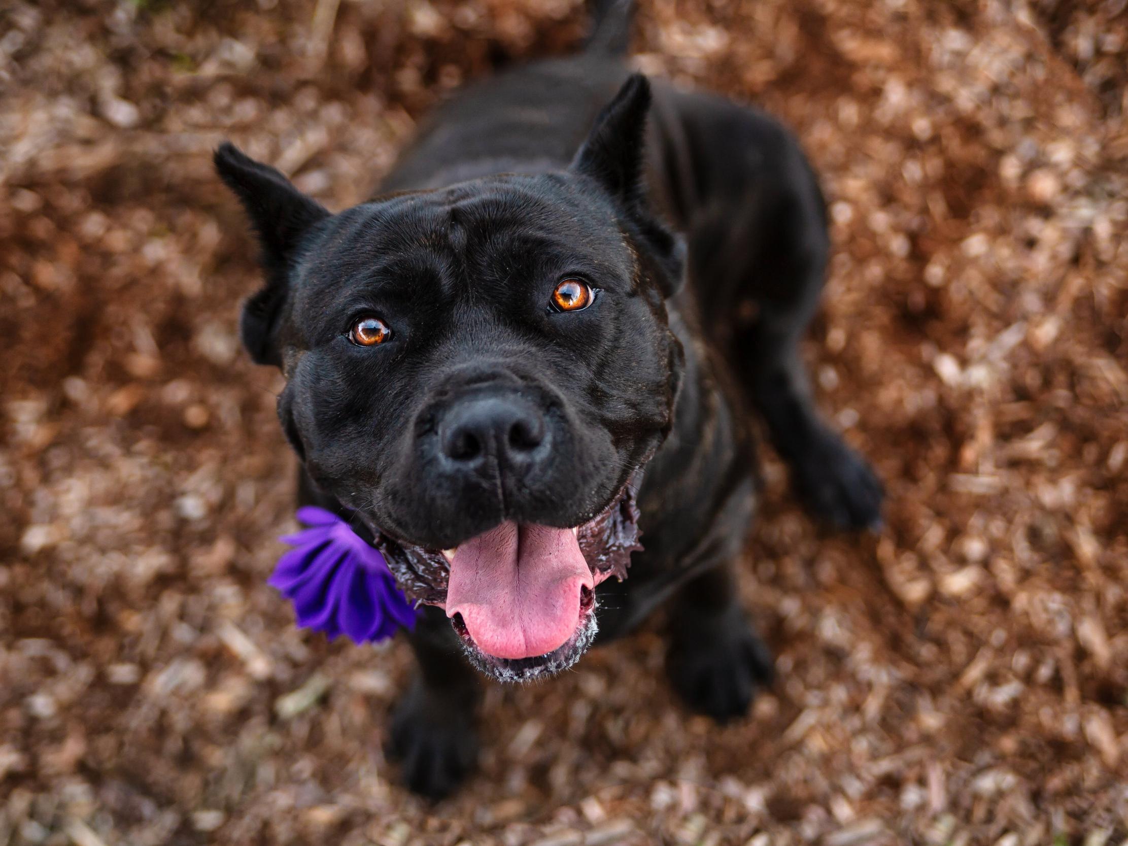 Cane Corso photo- smiley dog
