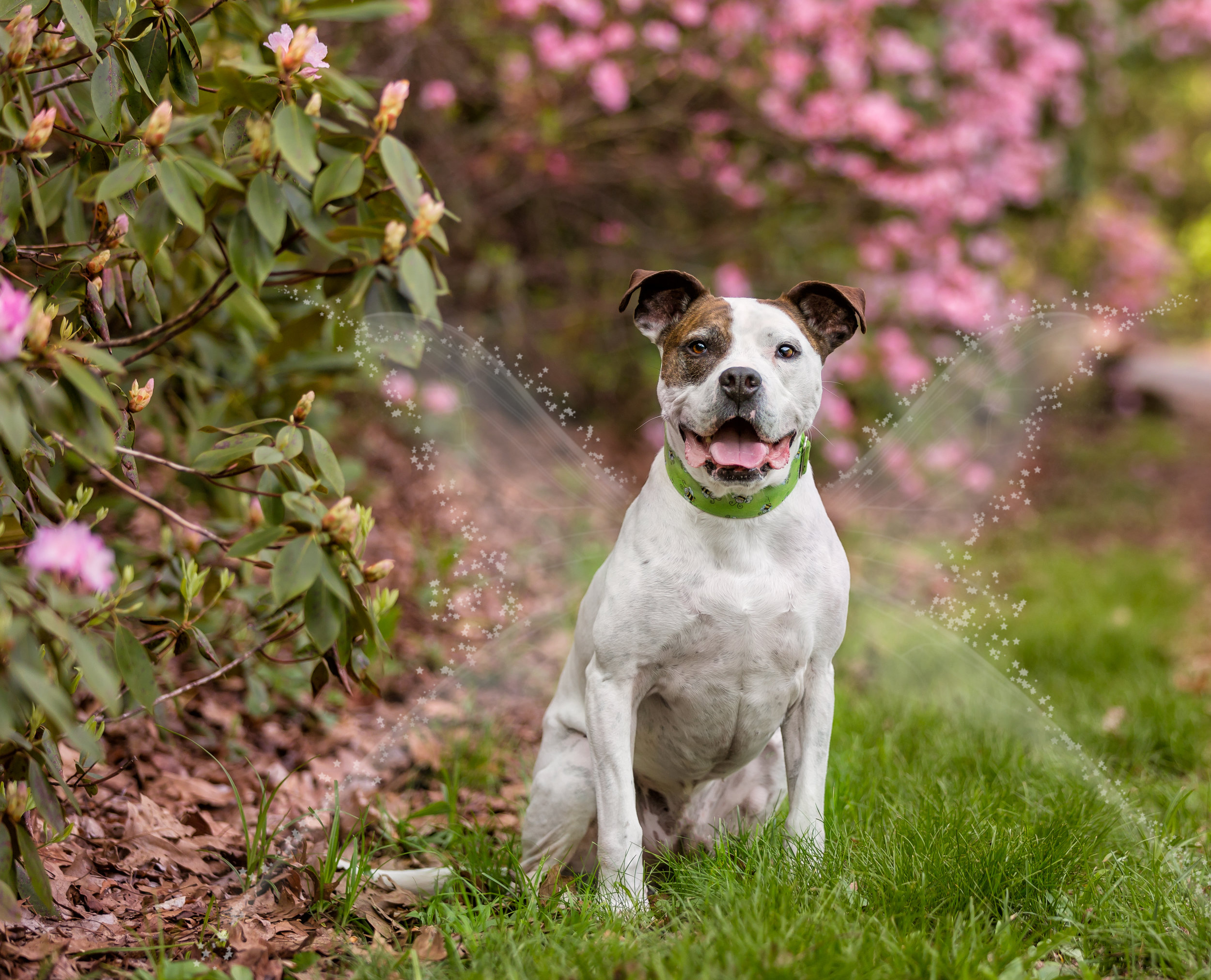 Pit bull mix photo- fairy tail