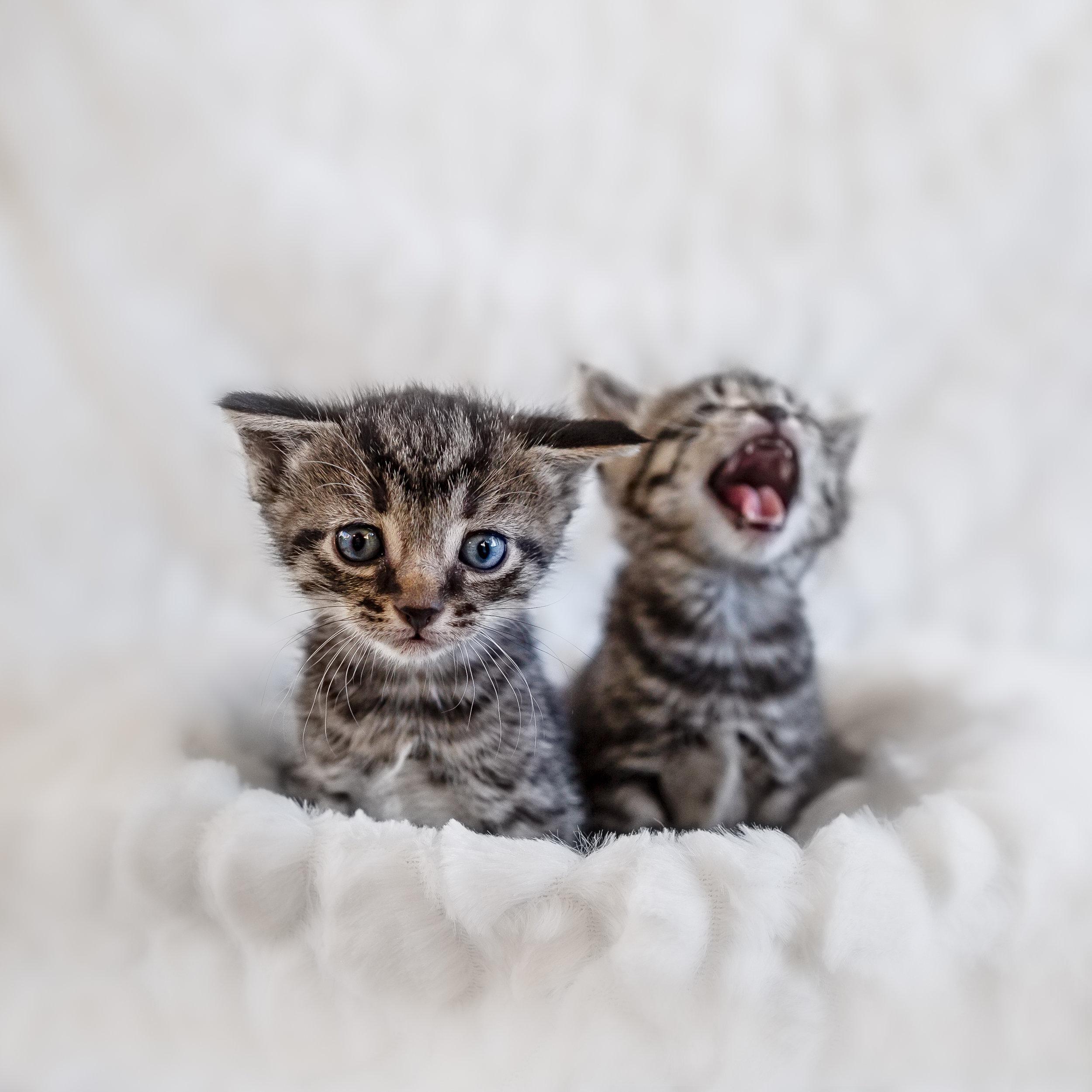 Springfield cat photographer
