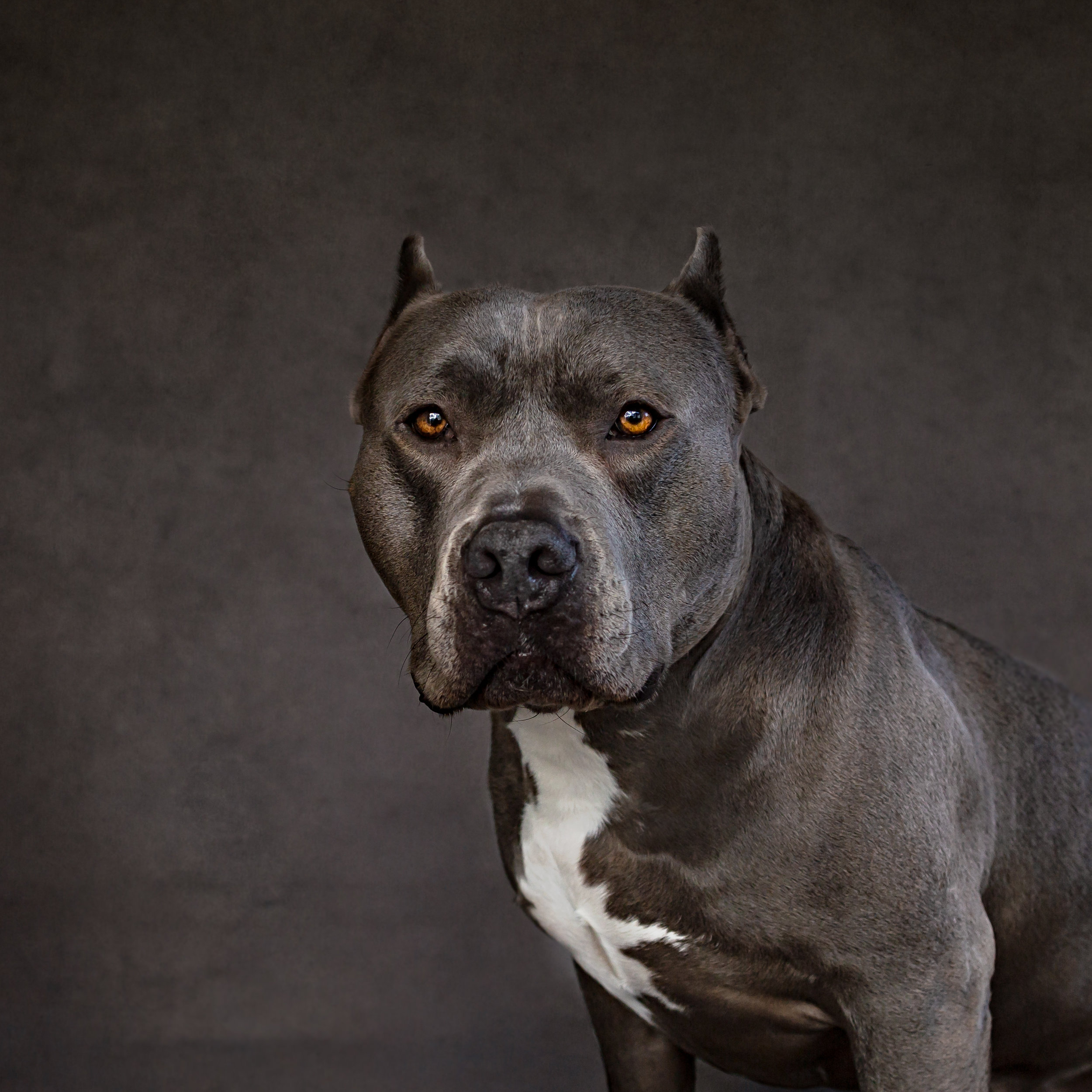 Pit bull dog photo- gorgeous- studio shot