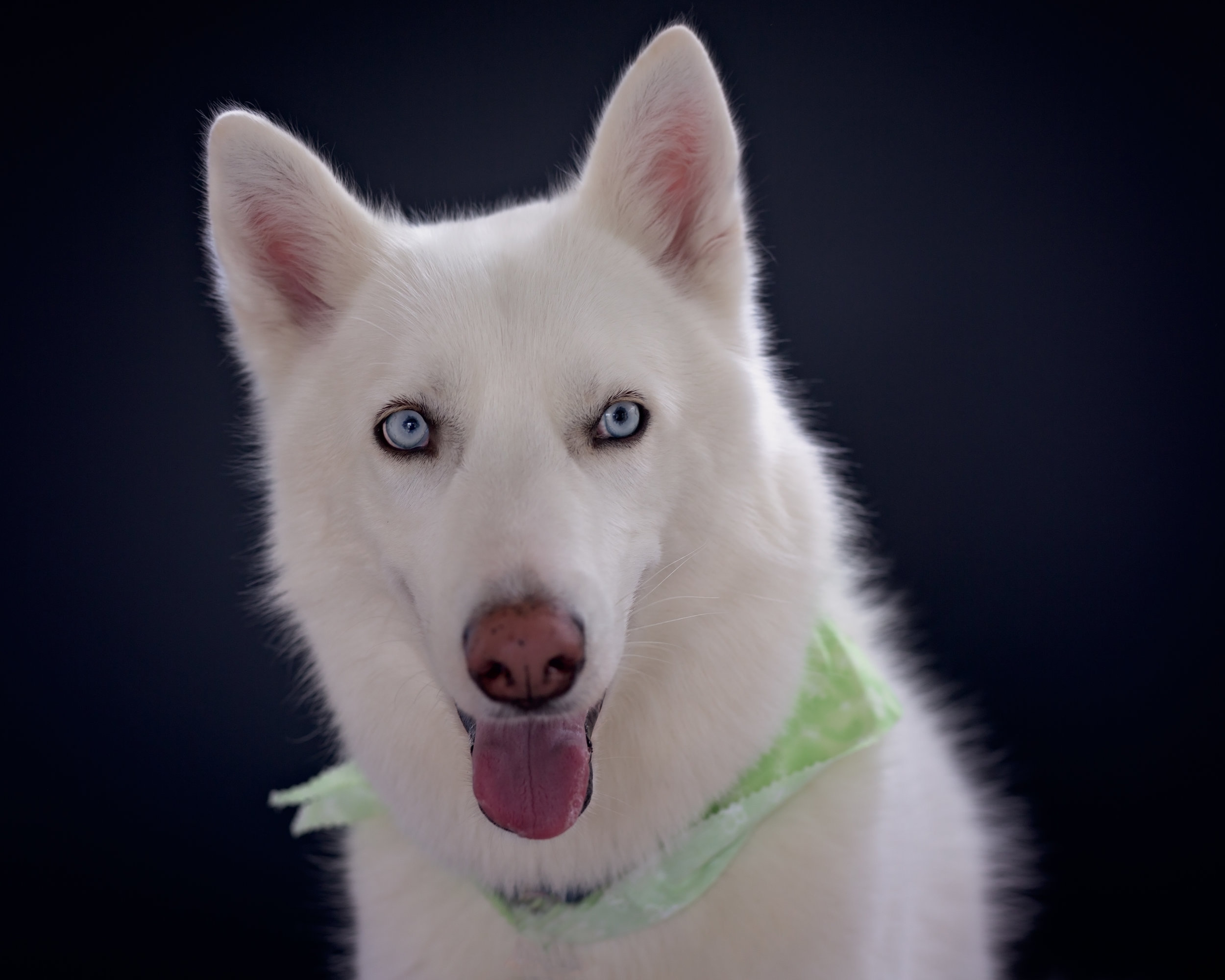 White husky- dog photo- studio style