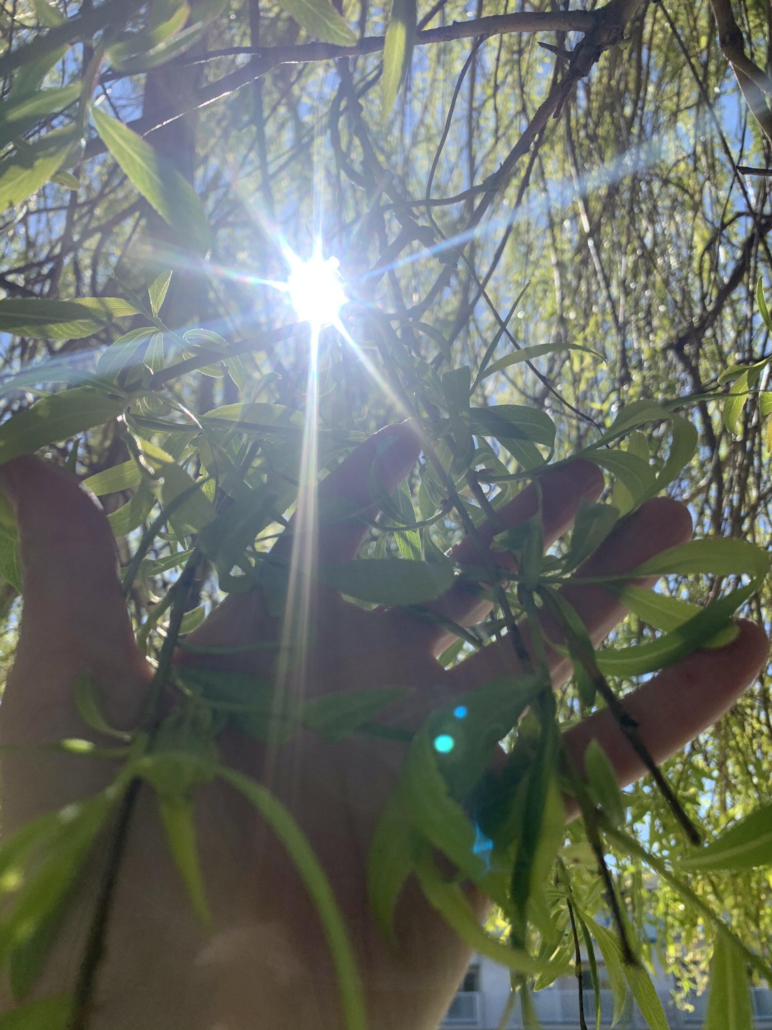 Willow Branch Rooting Hormone Carmelle Lauren Lemaistre R Ac