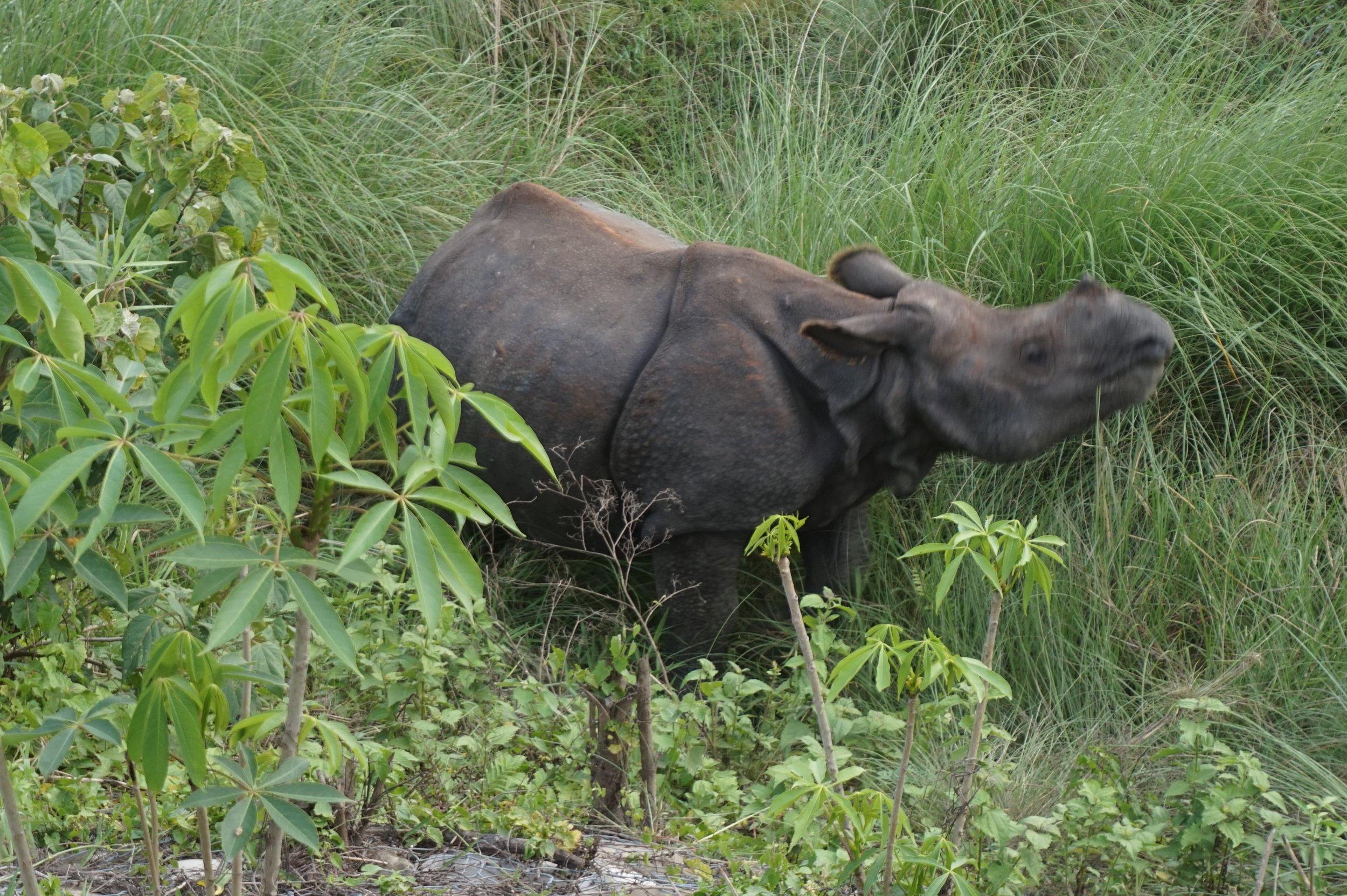 Wild rhino at Chitwan National Park, Nepal