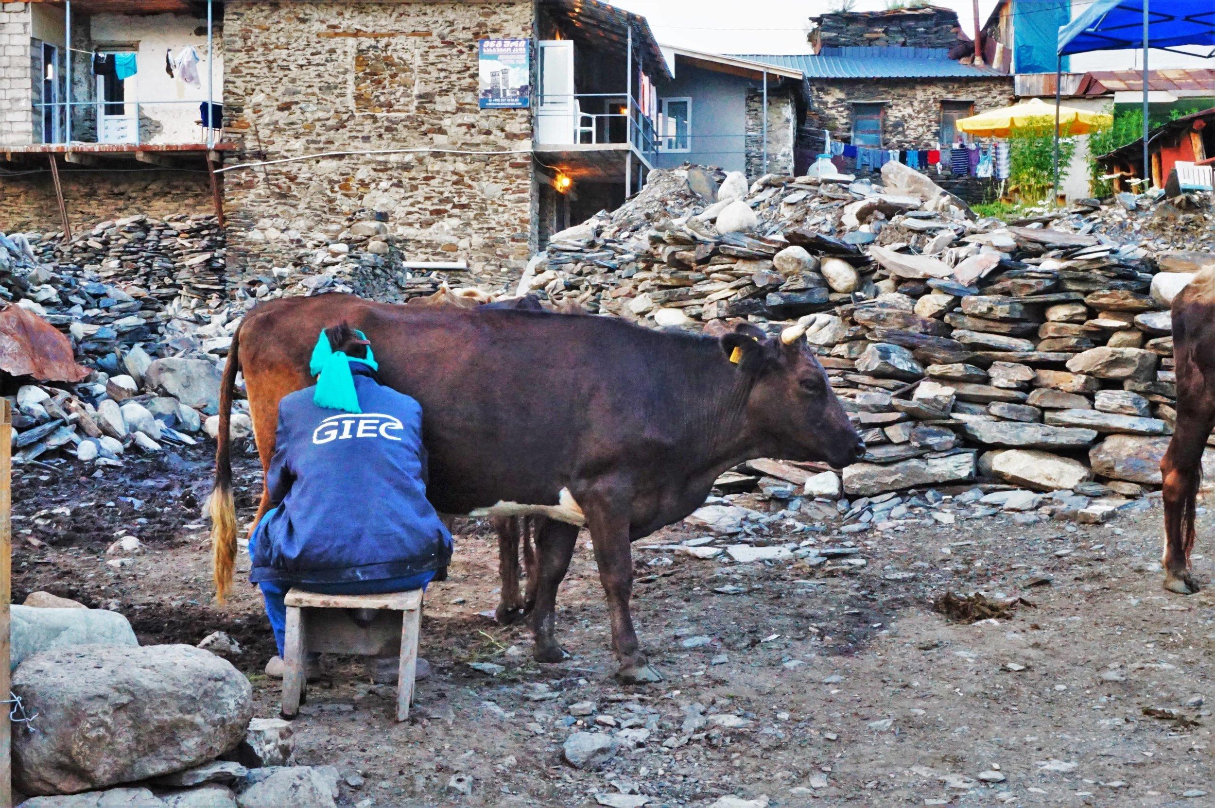 milking cow georgia