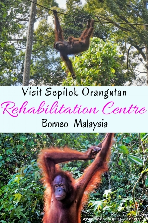In search of Orangutans in the wild? Read our guiede on everything you need to know for visiting Sepilok Orangutan Rehabilitation Centre in Borneo. Includes prices, times and information for howe you casn help save the orangutangs from extinction. #borneo #malaysia #orangutans #rainforest #asia #nature #saveorangutans #travel