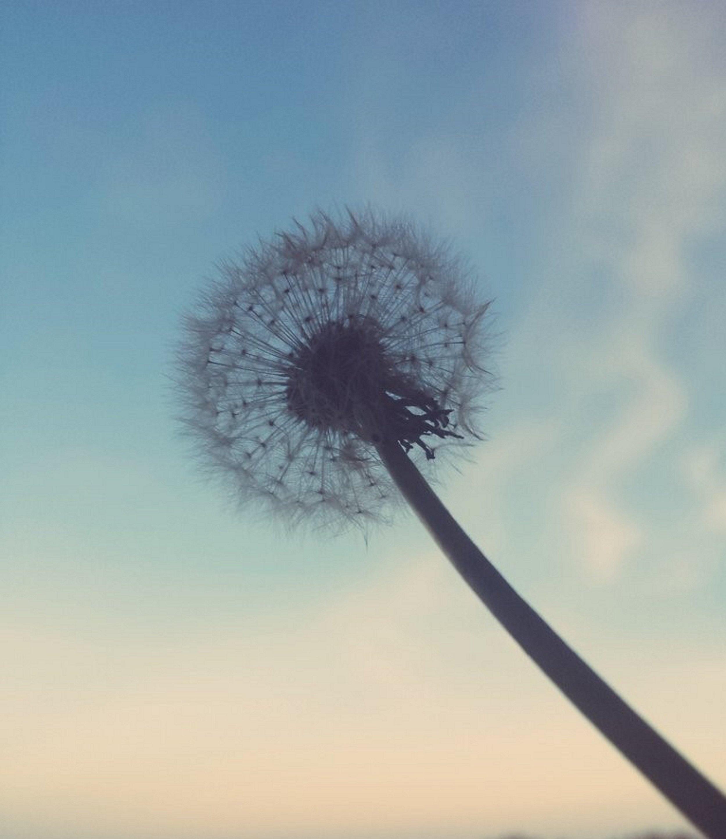 dandelion reg.jpg