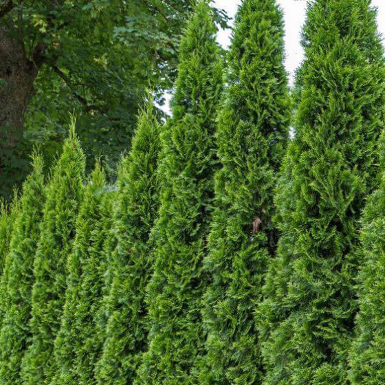 Nature Hills Emerald Green Arborvitae