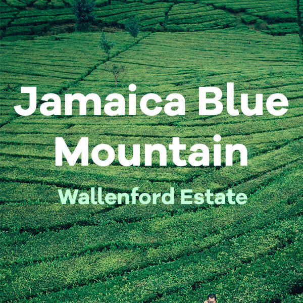 Volcanica Jamaica Blue Mountain Wallenford Estate Coffee