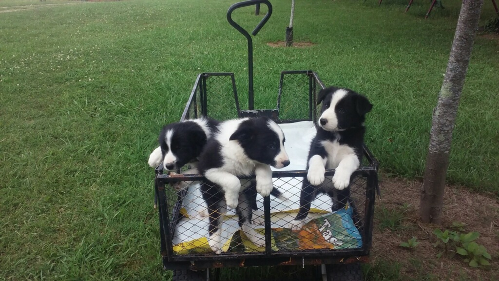 male puppies for sale from  kate.jpg