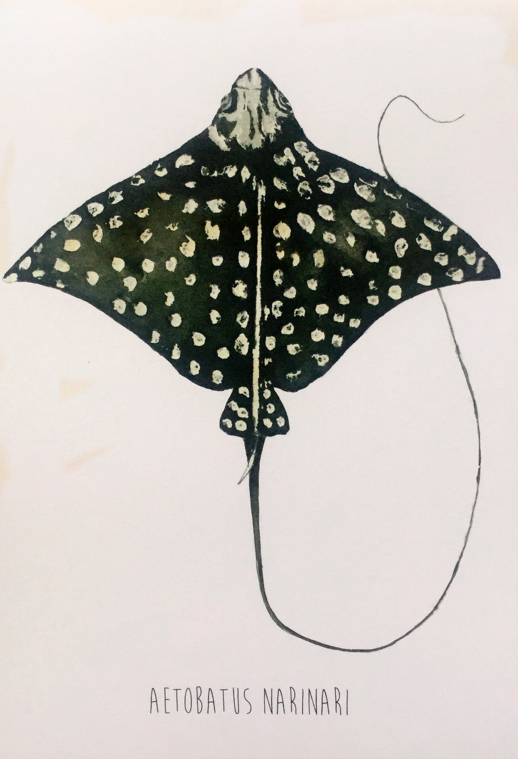 White Spotted Eagle Ray ( Aetobatus narinari)  Lia Cary Watercolour