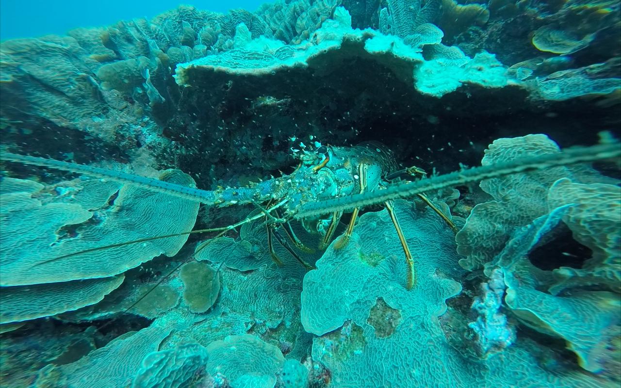 Spiny Lobster - Honduras 2017
