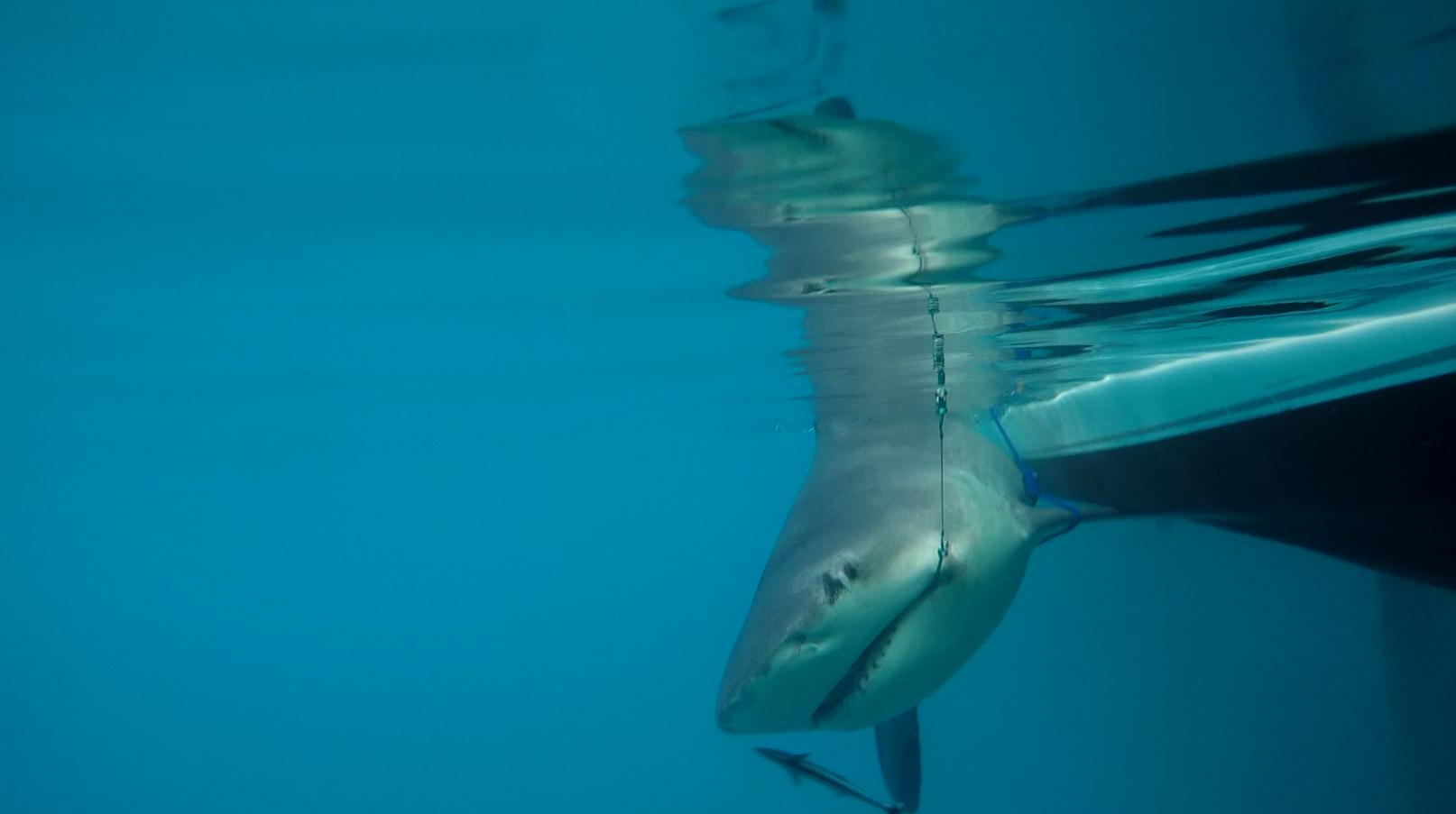 Bull Shark - Eleuthera 2013