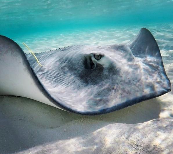 Southern Stingray - Schooner Cays 2016