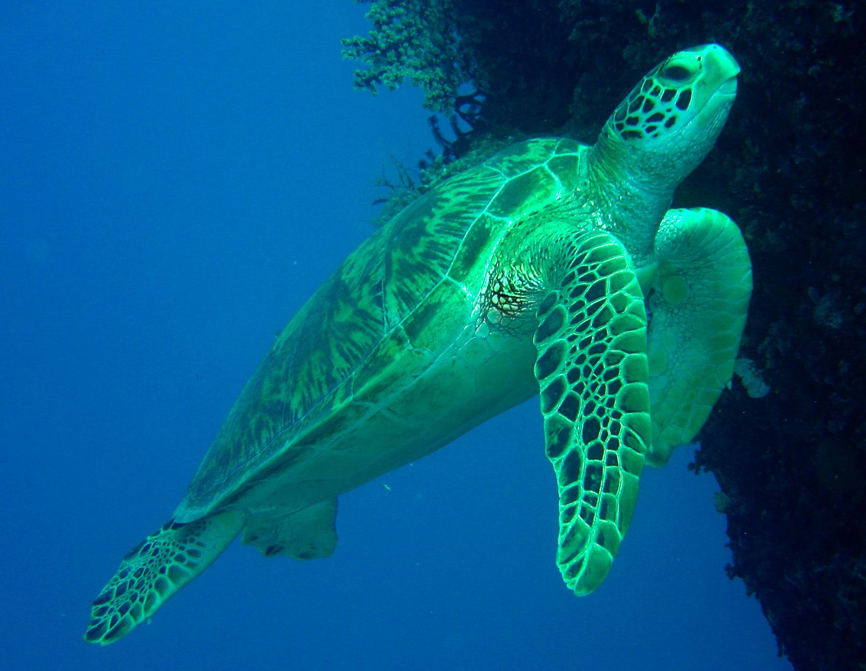 Green Turtle - Great Barrier Reef 2007