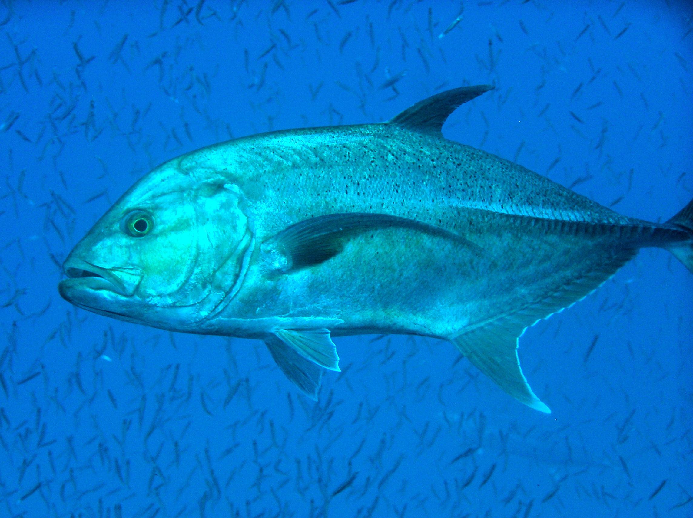 Trevali - Great Barrier Reef 2007